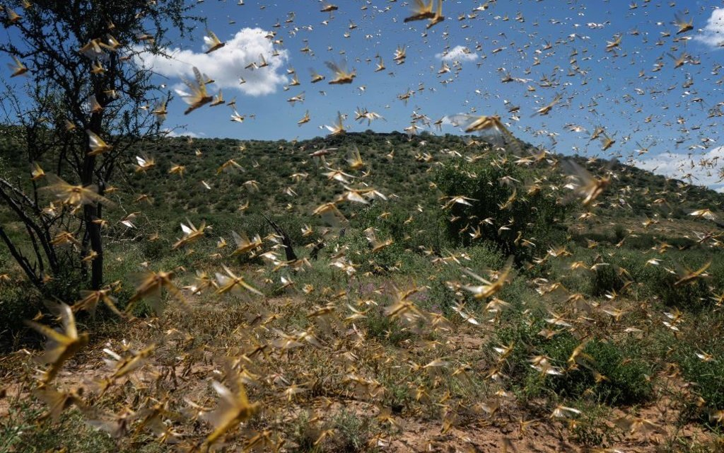 Locusts start to fly in the morning hours after roosting in the trees overnight on May 21, 2020 in Samburu County, Kenya.